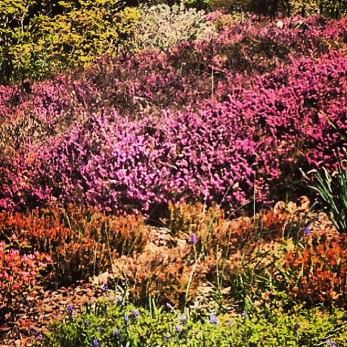 On the edge of full bloom. (at Fort Tryon Park)