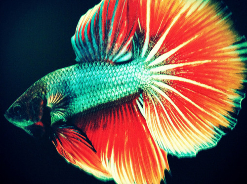 theanimalblog:  Betta. Photo by 3sixtyfive