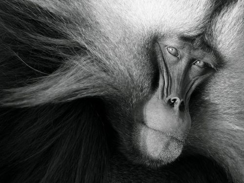 omit-needless-words:  Gelada, Ethiopia, Photograph by Clay Wilton  An adult male gelada rests in the early morning light after ascending the steep, sleeping cliffs of the Simien Mountains in Ethiopia. This male won his right to mate by successfully deposing the old leader. Now he must defend his harem by tending to his females' needs and fighting off anxious bachelors waiting for their chance to become harem leader.