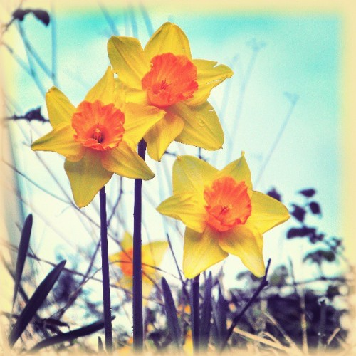 #daffodils … #flowers #floral #colorful #yellow #lookingup #sky #orange #spring #all_shots #нарциссы #весна #greensky #linandara_plants #linandara_retro