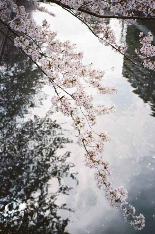 ethertune:  CHERRY BLOSSOMS (By lesMusigny)