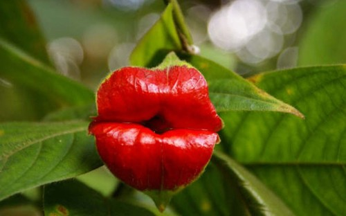 "archiemcphee:  Pucker up! This awesome flower reminds us of our Boo Boo Kisses Bandages. Although its scientific name is Psychotria elata, this smoochy plant has at least a few amusing common names: the Hot Lips Plant, Flower of Lips, and even Hooker's Lips.  ""The colourful red flowers have evolved to attract pollinators including hummingbirds and butterflies. The plant can be found in the forested areas of tropical America such as Costa Rica and Colombia.""  Now how many of you made a kissy face while looking at this photo?  [via Telegraph.co.uk]"