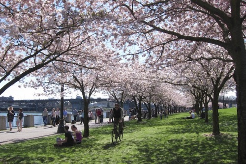 A Waterfront Park biker catches some cherry blossom action.