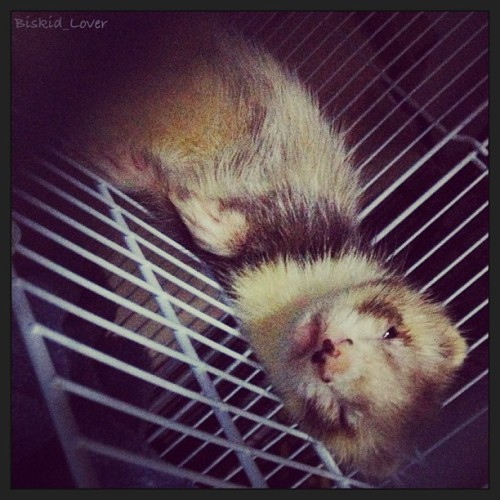 biskidlover:  #ferret #pet #petstagram #cute #เฟอเรท #ferrets #ferretslittlemonster #ferretlover#thailandferretsclub