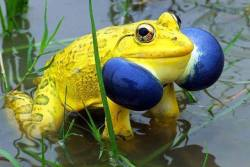 feliscorvus:  riotclitshave:  Indian bullfrog.  YELLOW frog with awesome blue puffy cheeks! I have never seen one like this before.