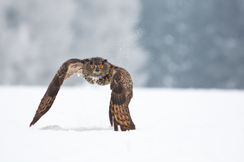Eagle Owl by Milan Zygmunt.