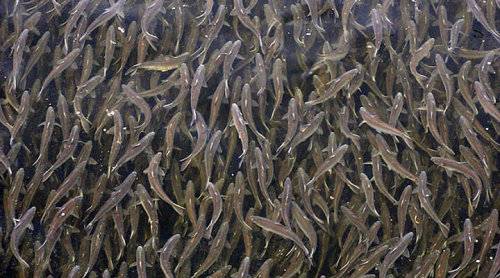 rhamphotheca:  MIGRATORY FISHES Diadromous fish:  Truly migratory fishes which migrate between the sea and fresh water. Anadromous: Diadromous fishes which spend most of their lives in the sea and migrate to fresh water to breed.  (ex: Salmon) Catadromous: Diadromous fishes which spend most of their lives in fresh water and migrate to the sea to breed.  (ex: American Eel) Potamodromous: Truly migratory fishes whose migrations occur wholly within freshwater.  (ex: some populations of Alewife, Brown Trout, and species of Amazonian catfish) Oceanodromous:  Truly migratory fishes which live and migrate completely in the sea.  (ex: Tuna) (via: Wikipedia) (photos: T - spawning Sockeye Salmon by TheInterior; B - American Eel by Claude Nozeres, World Register of Marine Species; Alewife via The Nature Conservancy)