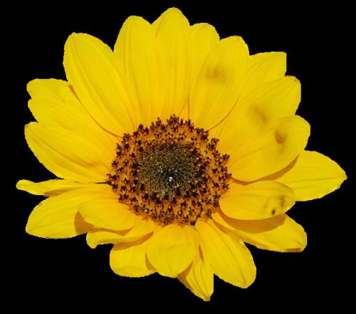 Sunflower Png Images Transparent Background: Transparent Sunflower