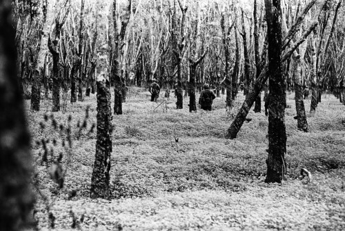 "U.S. soldiers patrol through a ghostly, defoliated rubber tree plantation. - From a set of rediscovered photos by Charlie Houghey from the Vietnam War, where he was commissioned to shoot not as a combat photographer, but in a ""morale operation"". Boston Globe has 47 of the shots that surfaced (from the nearly 2000 negatives that were dusted off after being in storage since the war). This is my favorite of the bunch - looks like infared, I love the composition and the light. See more at the source link."