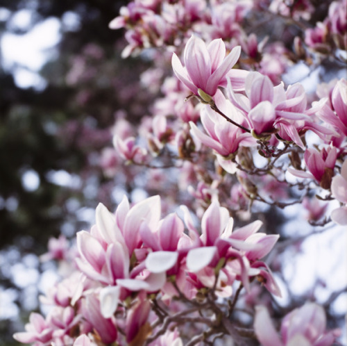 prettylittleflower:  Magnolia Liliflora by yocca on Flickr.