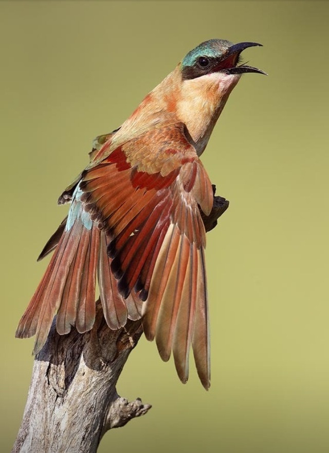 fairy-wren:  juvenile carmine bee-eater (photo by mirek zitec)