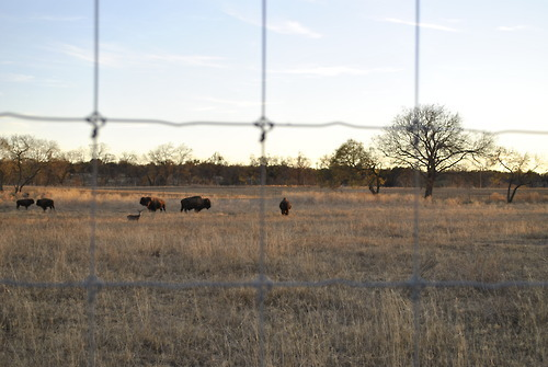 American bison grazing on land across the Pedernales River from the LBJ Ranch near Stonewall, Texas (December 2010) I'm just organizing some of the folders on my computer and finding some LBJ-related photos that you guys might enjoy.  By the way, my experience in Texas might have been more pleasant had it been centered around the peace and beauty of the LBJ Ranch in the Hill Country with limited visits from time-to-time into Austin only to hang out at the LBJ Library.  And air-conditioning 24/7/365.