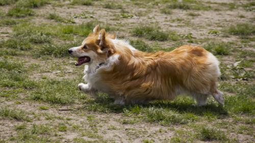 OH. MY. GOD.  LOOK AT THIS MAGNIFICENT CORGI.