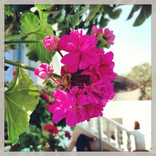 Paradise. 🌸 #greece #santorini #flowers #paradise #beautiful #greekislands