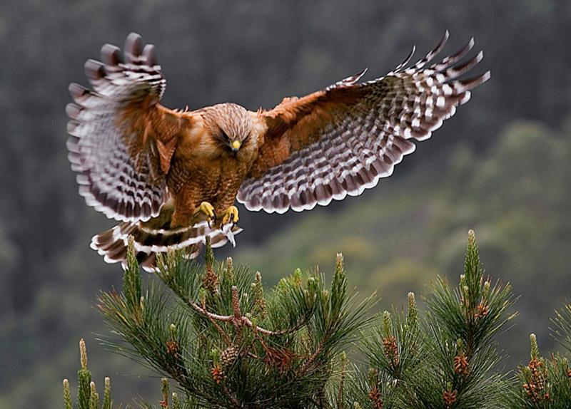 llbwwb:  Red-shouldered Hawk (Buteo lineatus) by Cary Maures.