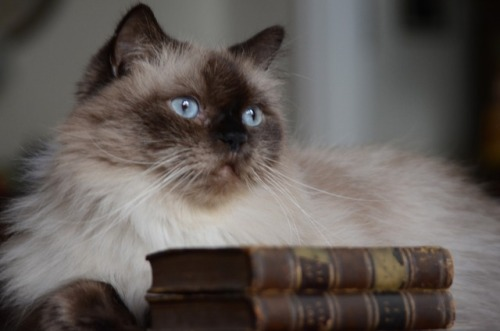 cat kitty himmie himalayan cat blue eyes books and cats cats and books booknerd bookish bibliophile don quixote cervantes booklr mostlycatsmostly cats of tumblr cats of the internet literary cat well read book photography