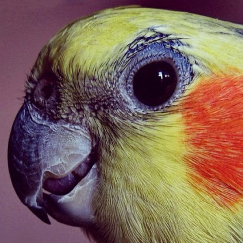 bcgraphic:  #parrot #papagei #cockatiel #bird #instacolor #red #yellow #eye