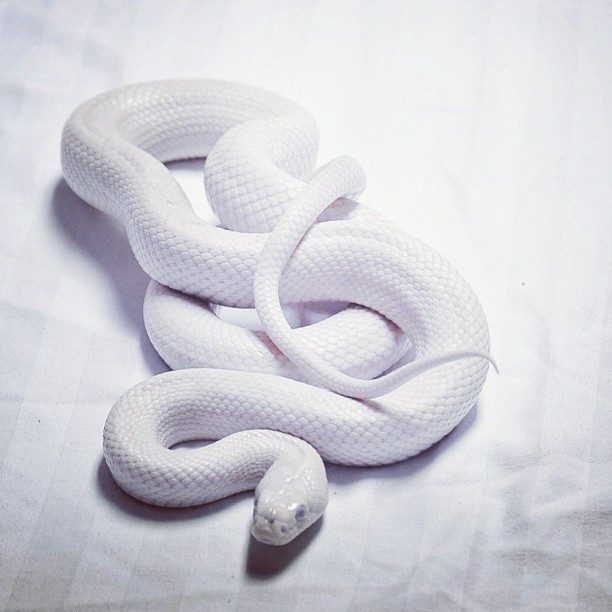 #whitesnake #white #allinwhite #snake #cold#animal