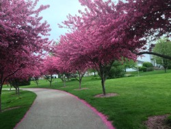 Pretty purple trees blooming along the boulevard in the park.  May 11, 2013