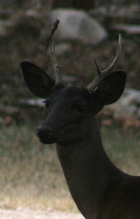"""witlovesyou:  A very unusual genetic color variation in white-tailed deer — rarer even than albinism — produces all-black offspring in that species which are known as """"melanistic"""" or """"melanic"""" deer."""