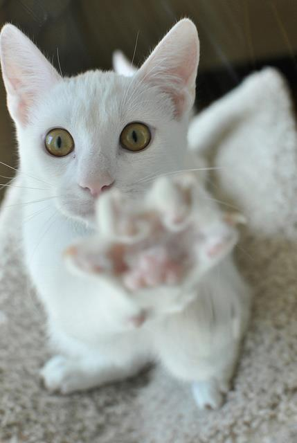 """Noooo! I said no photos!"" Photo via Nothing but TONS of KITTY CATS"