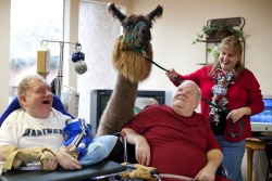 Therapy Llamas! Incredible story Read the rest at Slate
