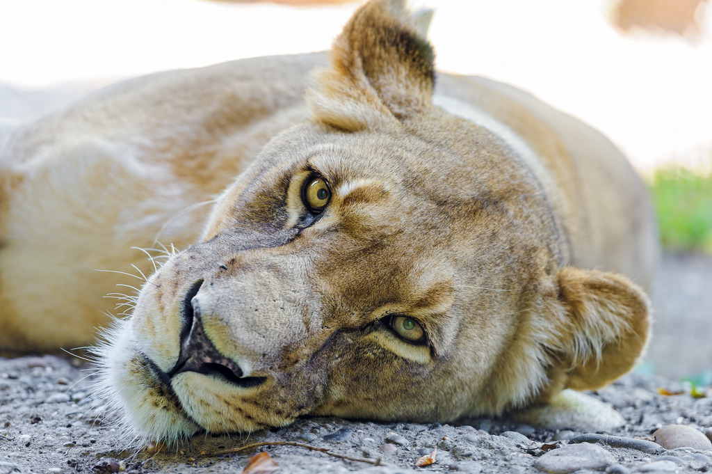The lioness resting in the same position (by Tambako the Jaguar)