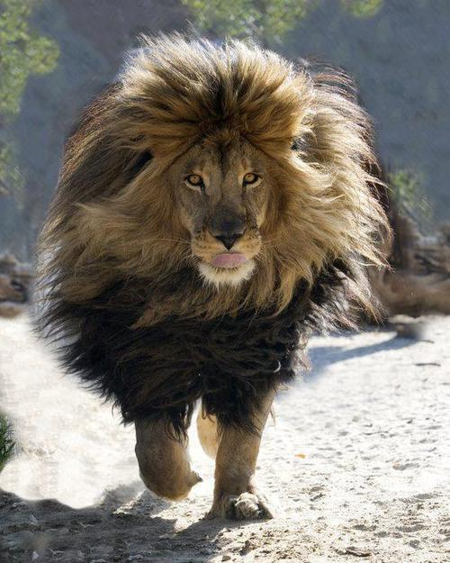 I have a deep obsession with lions.