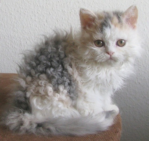unimpressedcats:  Curly  omg its perfect