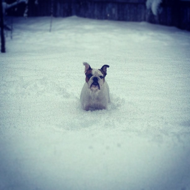 Turns out, Bosco LOVES snow! He opens his jaw and runs around scooping it in his mouth like a little snow shovel!! Ha ha!! (at The Henson House)