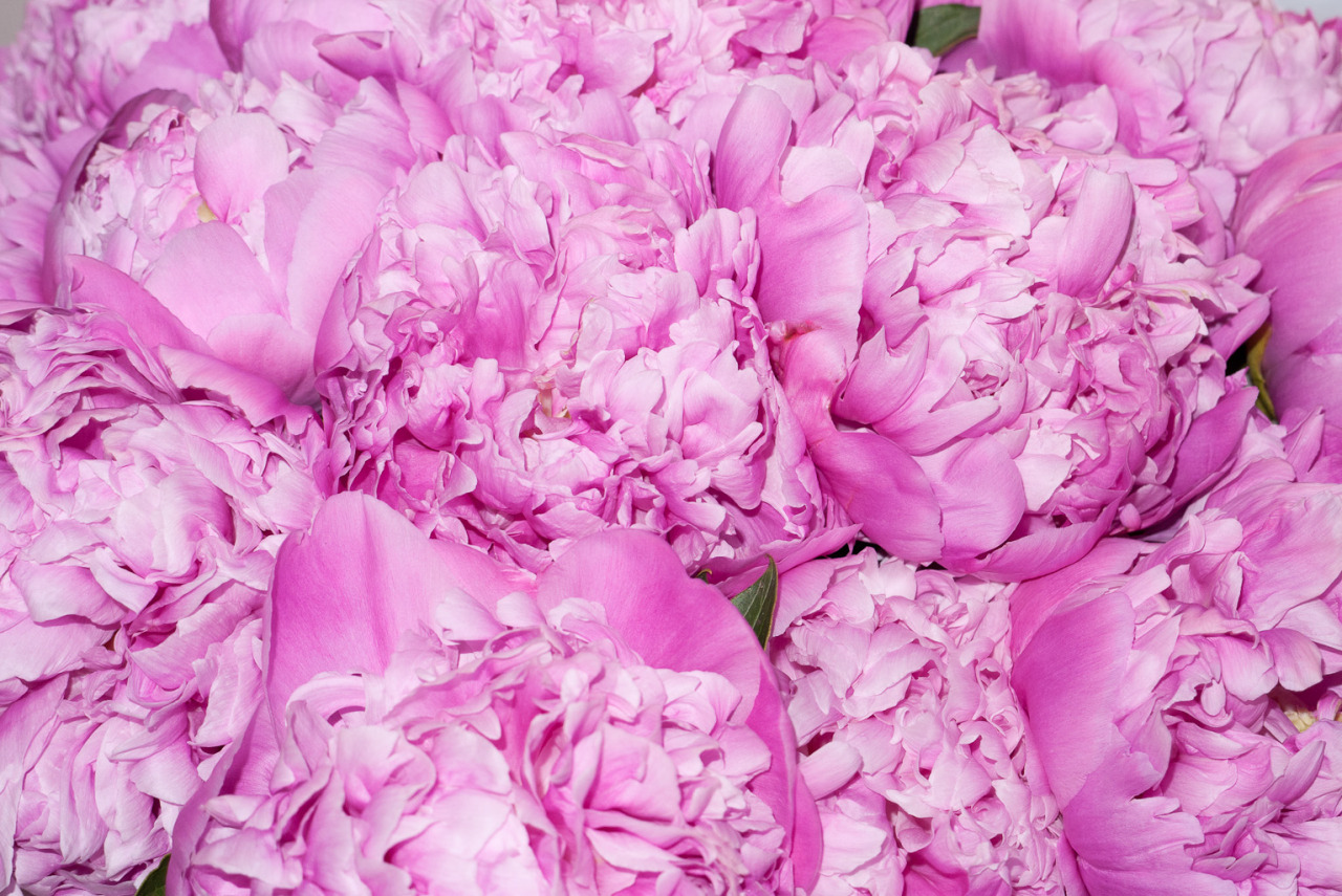 terrysdiary:  My favorite flowers are Peonies #1