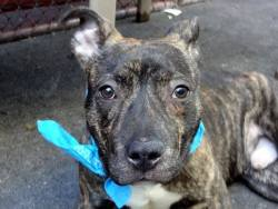 death-row-dogs:  SUPER URGENT Manhattan Center - New YorkMy name is BENJI. My Animal ID # is A0964650.I am a male br brindle and white pit bull mix. The shelter thinks I am about 6 MONTHS old.I came in the shelter as a OWNER SUR on 05/08/2013 from NY 10457, owner surrender reason stated was LLORDPRIVA. A volunteer writes:Benji was relinquished into our care because of landlord issues. He lived with 4 children and comes with great comments from his former owners. Benji is a very friendly puppy at 6 months of age. He is tiny, lively and loves to play hide and seek, with the ball or just running around in a large pen. he does try to mouth a little but stops immediately upon gentle command.He walks beautifully on the leash, so care free looking and so happy to be in company. He play bows to other dogs. He is very sociable with people and dogs alike. of course, as he is so young, Benji is also very needy and elects my lap as his nesting and resting place after playing. He rolls on his back and asks for belly rubs. I love Benji, an itsy-bitsy little boy who won the hearts of many at the care center. Come and meet him, fall in love and make him your forever best friend.For more information on a particular dog, email adoption@nycacc.org but ONLY if serious about adopting, and ONLY if you are able to GO TO the shelter in-person. Please do not email for status updates… the only thing you will accomplish is spamming their in boxes and causing REAL adopter emails to go unnoticed. Contact the NYC ACC at (212) 788-4000 for further automated instructions.