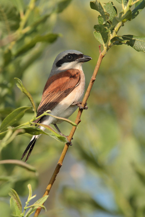 emuwren:  The Red-backed Shrike - Lanius collurio, is a carnivorous passerine bird and a member of the shrike family Laniidae. This bird breeds in Europe and western Asia and winters in tropical Africa. Photo by Peter Rohrbeck.