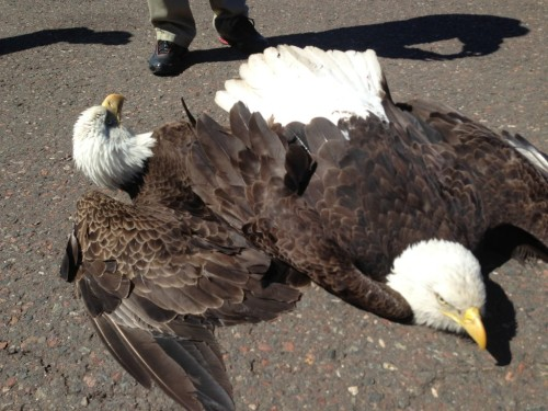 "bestrooftalkever:  Two bald eagles in air battle crash-land at airport Dude these two eagles were fighting mid-air and got stuck. They crash landed at an airport and both survived. How hardcore is that? Look at their faces tho. Its like ""I swear to GAWD Jerry""  There has to have been a can of sardines on the ground. >.>"