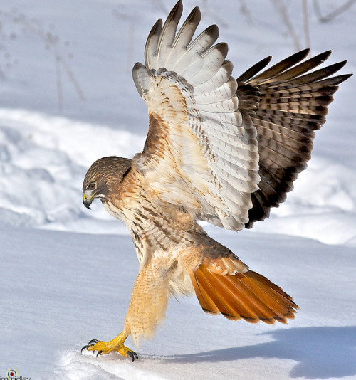 peregrineinastoop:  Adult Red-tailed Hawk by Jim Ridley