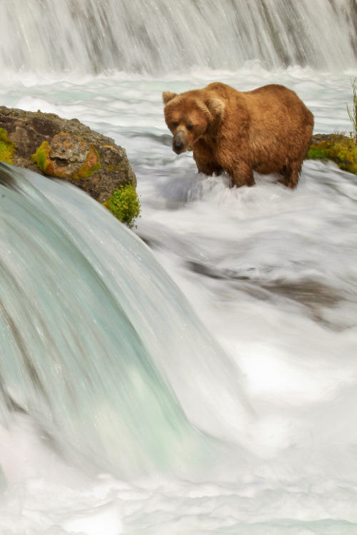 h4ilstorm:  Brown Bear (by toryjk)