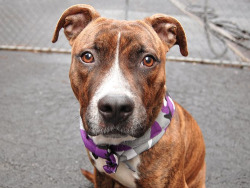 likeafleshofbelaire:  death-row-dogs:   TO BE DESTROYED Manhattan Center  Ruffff Rufff. My name is Blaze! My Animal ID # is A0951965.I'm a male brindle and white pit bull mix. The shelter thinks I am about 10 months old. I came in the shelter as a owner surrender on 11/28/2012 from NY 10027, owner surrender reason stated was allergies.    an adorable puppy on the euthanasia list! REBLOG to get the word out, hes just a puppy and could have a full life ahead of him if we just get the word out to the right owner!! if you're seriously interested in adopting you can call  (212) 788-4000 and ask for more info about Blaze.  EVERYONE REBLOG! Blaze has limited time!!!!