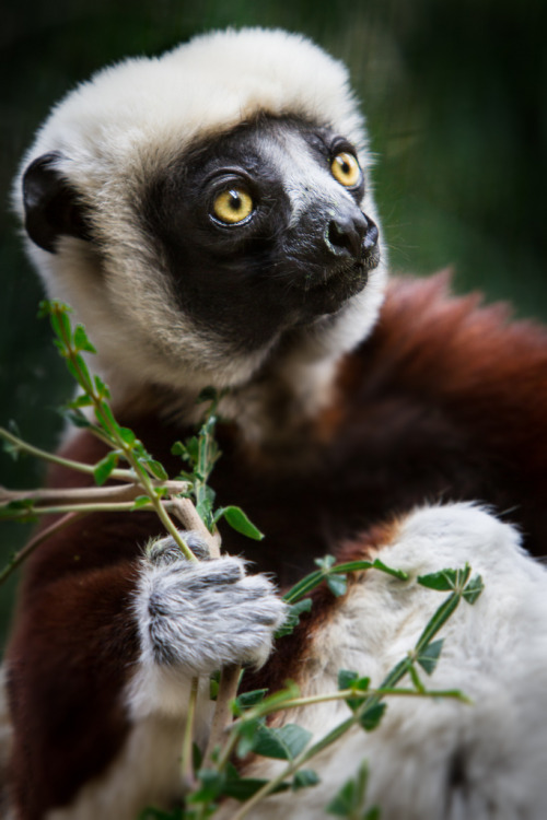 h4ilstorm:  Coquerel's Sifaka (by William T Hornaday)
