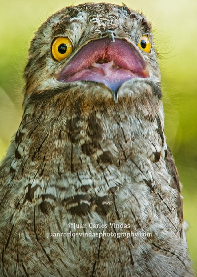 fairy-wren:  Northern Potoo (photo by Juan Carlos Vindas)