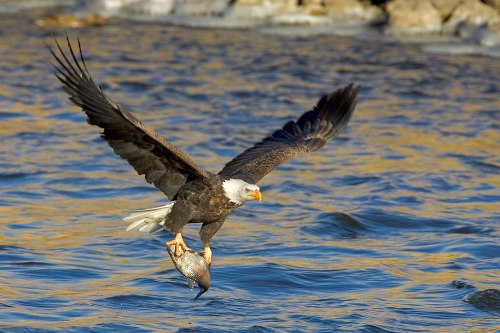 Hundreds of Bald Eagles make the Upper Mississippi River National Wildlife Refuge their home during winter months. The eagles congregate near open water snatching fish with their talons and soaring to to the treetops to eat their prey.
