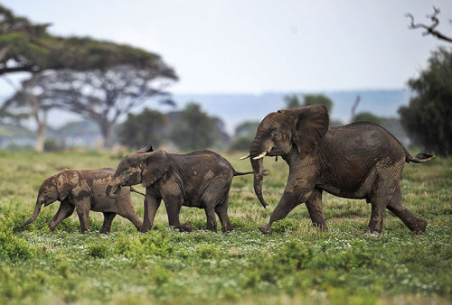 funnywildlife:  funnywildlife: Young elephants at the Amboseli game reserve, Kenya. The year 2012 was the annus horriblis (year of horrors) for elephants, according to the International Fund for Animal Welfare. Around 34 tonnes of poached ivory was seized – the biggest ever total of confiscated ivory in a single year, a rise of almost 40% on last year's record of 24.3 tonnes. Most illegal ivory is destined for Asia, in particular China, where it has soared in value as an investment vehicle and coveted as white gold  Photograph:Tony Karumba/AFP/Getty Images