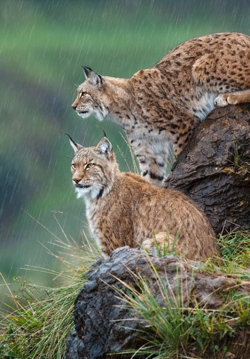 "beautiful-wildlife: ""Downpour by Marsel van Oosten """