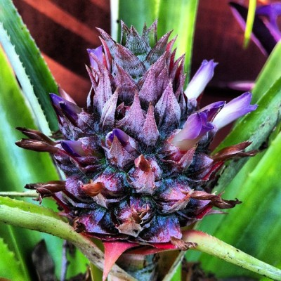 Pineapple flowers