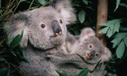 greenpeace:  Climate change a threat to koalas. via the Guardian