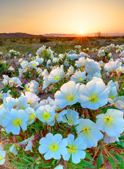 electric-voltage:  Desert Tissue Spring Flowers Joshua Tree National Park by Ireena Eleonora Worthy on Flickr.