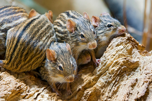 These mice belong to the family Lemniscomys, whose members are known as striped grass mice, African striped mice, or zebra mice.  There are 11 recognized species, all of which are found in sub-Saharan Africa but one, the Barbary striped grass mouse (L. barbarus).  They are generally found in grassy habitats and are mostly diurnal, but they are very adaptable and can be found in a variety of habitats, particularly where their ranges overlap.  They are very short-lived and average only a year in the wild, and feed on plants and some insects.(x)(x)