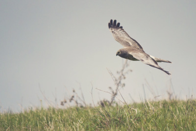 Male Harrier Hawk gliding through the hillside in search for food. Russian Ridge Preserve. La Honda, CA