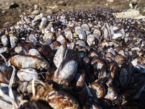 rhamphotheca:   A cool new way climate change is killing bivalves  By Susie Cagle We already know that carbon-dioxide-filled, acidic ocean water is no-good, very-bad news for mussels and other underwater shelled creatures, causing their shells to dissolve. But, as these things so often go, it turns out that climate change is even worse for bivalves than we thought: It's unleashing an awkward kind of anti-puberty on them. They're growing smaller and weaker, and now we find out that they're basically losing their hair. New research published in the journal Nature shows that mussels' proteinaceuous byssal threads — the little stringy bits that allow them to stick their bodies on stuff — are particularly susceptible to ocean acidification. The researchers found mussels' little stringy bits were 40 percent weaker when exposed to elevated CO2 levels, even when their shell strength and tissue growth weren't affected… (read more: Grist.org)                       (photo: Sapphire/Flutterby)