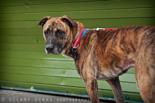"thedailybadass:  Taurus is a 2 1/2 year-old, 50 lb. Mountain Cur/hound mix from West Virginia. His owner, who by all accounts seems to have loved him dearly, died a few months ago. With no one to love him and nowhere to go, a grief-stricken Taurus landed in a local kill shelter. He was not the only sad dog. Taurus had a friend in ""Buddy"" in the neighboring kennel, but then Buddy left too when he got adopted by a nice man. Taurus's grief deepened and volunteers began to worry that he was giving up.  Thankfully, a kind volunteer took an interest in lifting Taurus's spirits. And she quickly decided that this dog was meant to always be somebody's FRIEND. They walked the grounds. Taurus basked in the sun and nearly wagged his tail off at all of the people. He loves all humans, especially children, and had plenty of sloppy kisses to prove it. That volunteer may very well have saved his life by reviving Taurus's heart and taking time to share the story that lead to this gentle, handsome tiger becoming a Badass. And now it's our turn to finish the job and find him a happy home in New York! (This is where you come in).  If you are interested in meeting Taurus, please email info@badassbk.com. You can also fill out an adoption application here: http://ow.ly/iTvlA Photo by Hilary Benas"