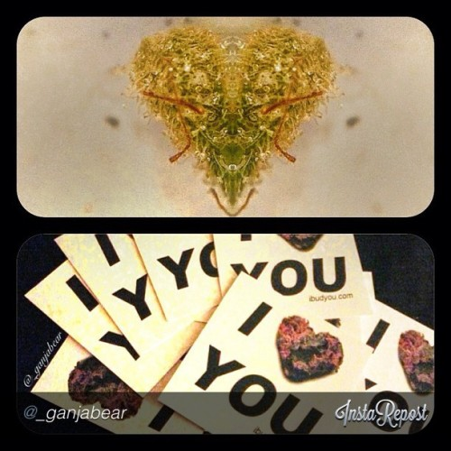 Oh @_ganjabear we love your #heartshapednugs #weed #budlove #ganja #high #420 #bud #ibudyou #puffpuffpass #staylifted #gethigh #stoned #cannabis #chronnoisseur #ibudyousticker #thepersonalstash #maryjane